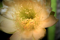 Rain on Cactus Flower 2011