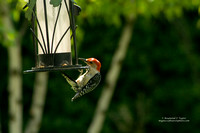 Red Bellied Woodpecker Sequence